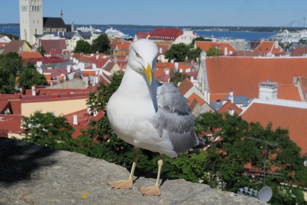 Fotomodell-Möve; ganz im Hintergrund Hafen von Piritas