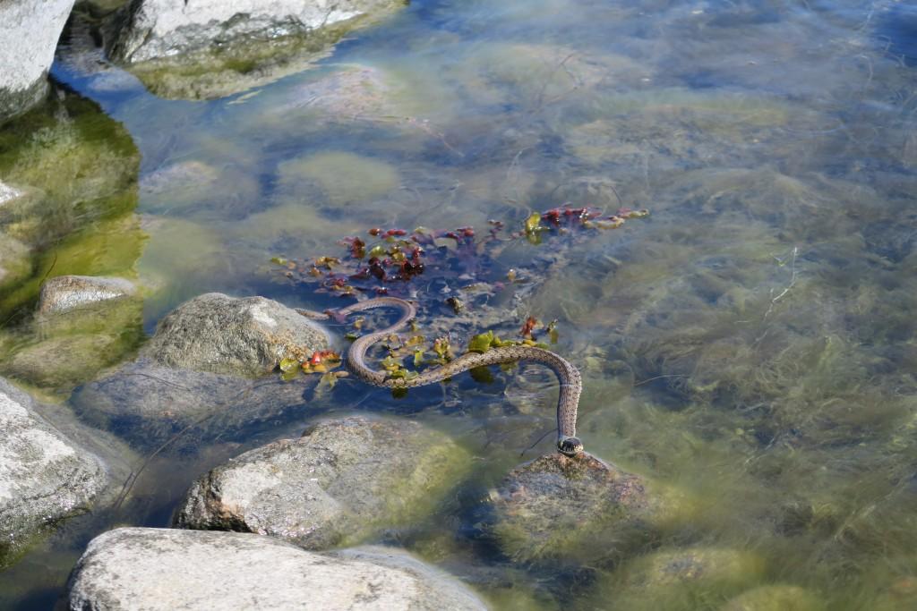 Wasserschlange auf Utö