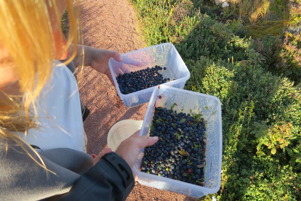 Blaubeeren gepflückt auf Rödhamn